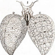 Frog Lungs, Malpighi, 1661 Poster