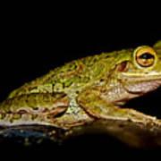 Cuban Tree Frog Poster