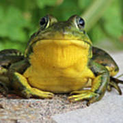 Frog On Flat Stone B  9871 Poster