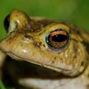 Frog Posing Poster