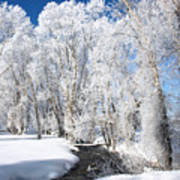 Frosted Cottonwoods Poster