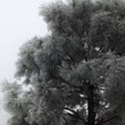 Frosted Pine Poster