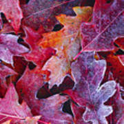 Frosted Red Oak Leaves Poster
