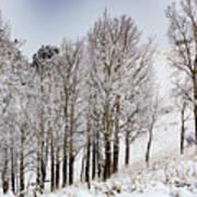 Frosty Aspen Trees Poster