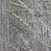 Frosty Birch Tree Poster