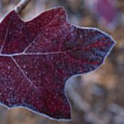 Frosty Maroon Leaf Poster