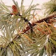 Frozen Pine Poster