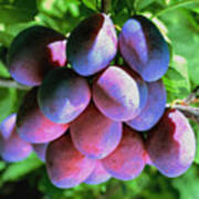 Fruit Plums  On Tree Poster