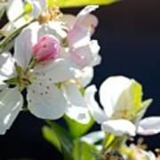 Fruit Tree Blossom Poster
