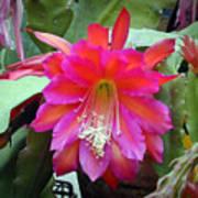 Fuchia Cactus Flower Poster
