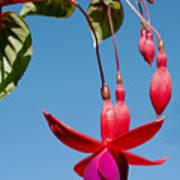 Fuchsia At Pilgrim Place In Claremont-california Poster