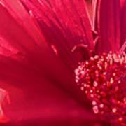 Fuchsia Flower Poster