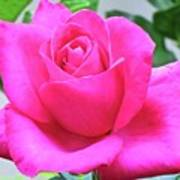 Fuchsia Rose Poster