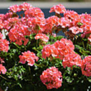 Full Bloom Geraniums  Poster