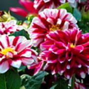 Full Blooms Poster