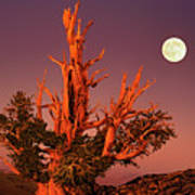 Full Moon Behind Ancient Bristlecone Pine White Mountains California Poster