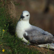 Fulmar Nesting On Cliff Poster