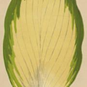 Funkia Sieboldiana Variegata Poster