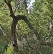 Funky Tree On Trail In Peters Canyon Poster