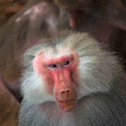 Funny Baboon Poster