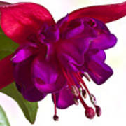 Fuschia Blossom Macro  Poster