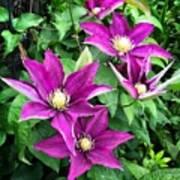 Fushia Clematis Flowers Poster