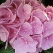 Fwc Beautiful Pink Hydrangea Poster