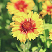 Gaillardia Flowers Poster