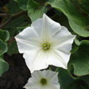 Galapagos Flower Poster