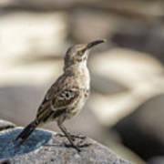 Galapagos Hood Mockingbirds Poster
