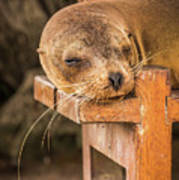 Galapagos Sea Lion Sleeping On Wooden Bench Poster
