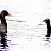 Gallinule Family Poster