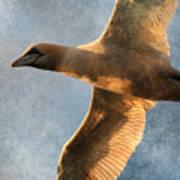 Gannet In Flight 2 Poster