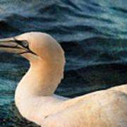 Gannet Swim Poster