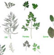 Garden Herbs Poster