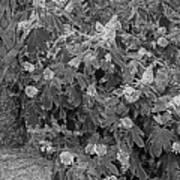 Garden Hydrangeas In Grayscale Poster