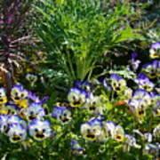 Garden Pansies Poster