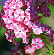 Garden Phlox Poster