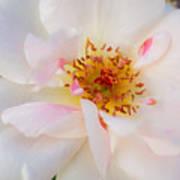 Garden Rose Blush Poster