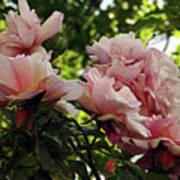 Garden Roses 2 Poster