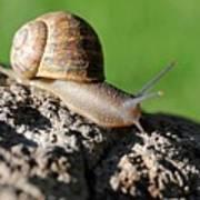 Garden Snail Poster