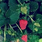 Ripening Garden Strawberries  Poster
