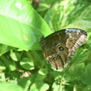 Garden With A Blue Morpho Butterfly With Wings Closed Poster