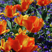 Garden With Blooming Yellow And Red Tulip Blossoms Poster