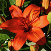 Garden With Lily Buds And A Blooming Orange Lily Poster