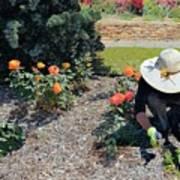 Gardener Pulling Weeds  Poster