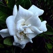 Gardenia 3 Poster