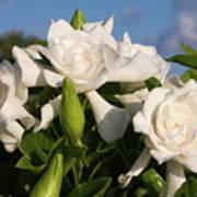 Gardenia Flowers Poster
