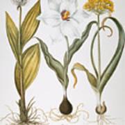 Garlic, 1613 Poster