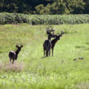 Gathering Of Bucks Poster